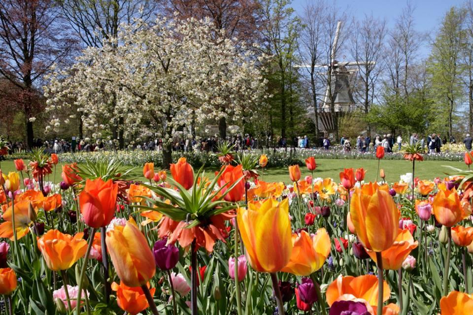 le hoi hoa tulip ha lan